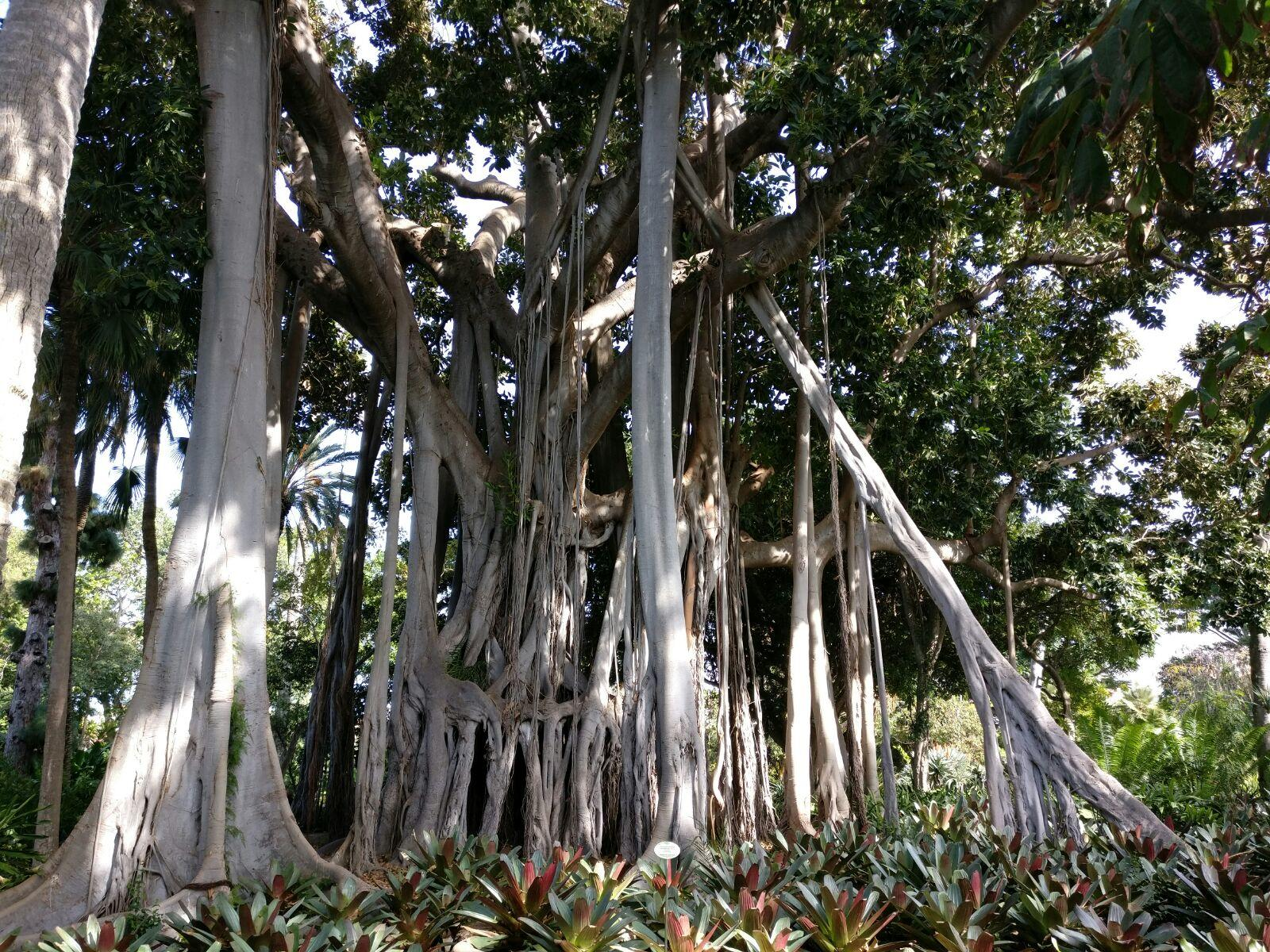 The strangler fig is growing more and more.