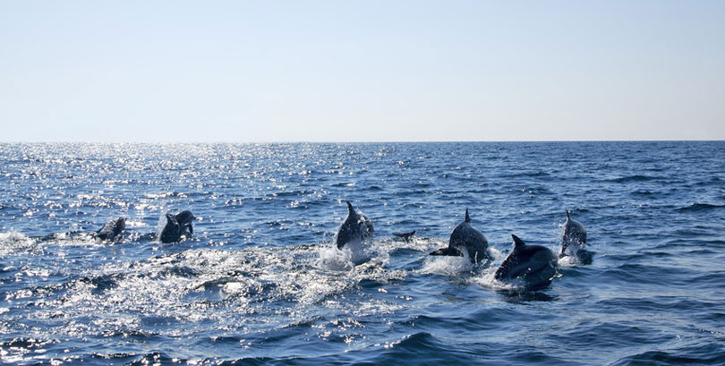 Dolphins in the open sea